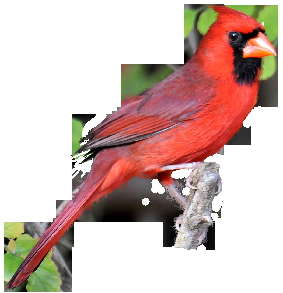 Red Cardinal Png Kid 4