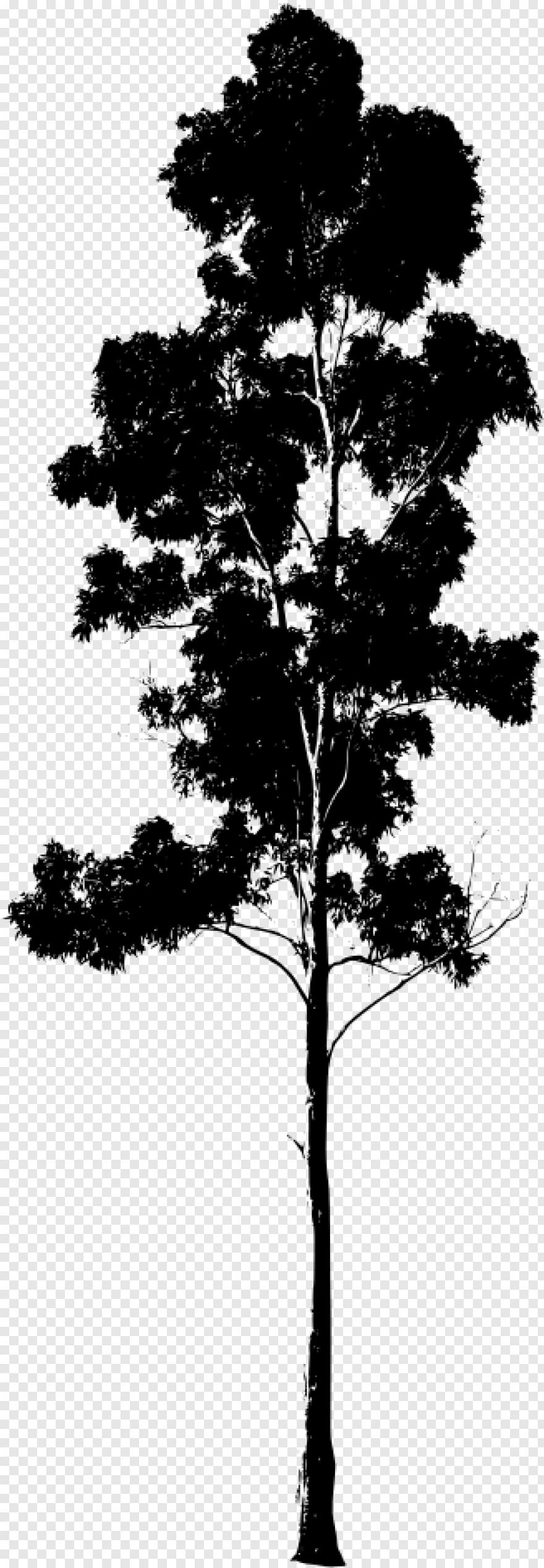 Black Eucalyptus Tree Free Transparent Png