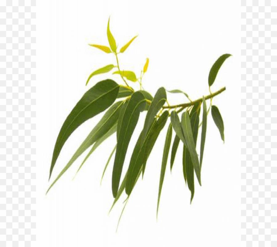 Eucalyptus Free Images Png