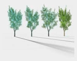 Four Tree Eucalyptus Png